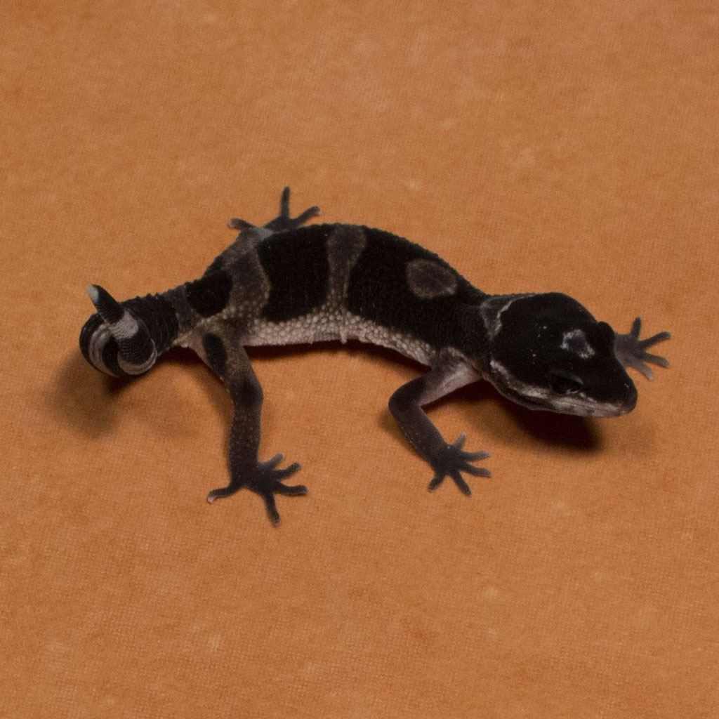 Black Night Leopard Geckos - Premium Geckos