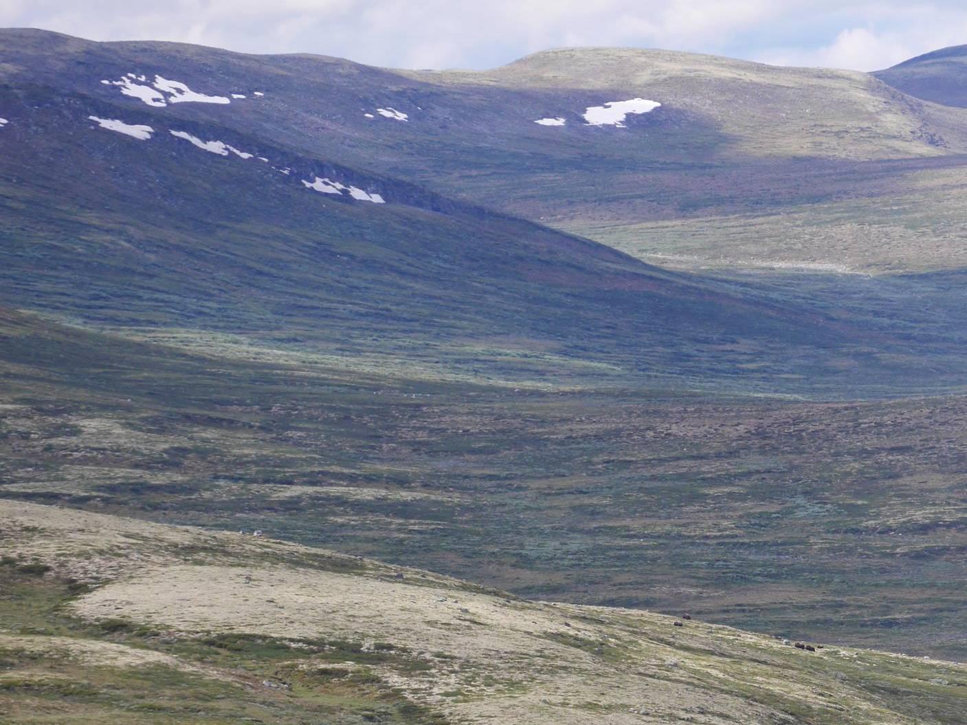 Moschusochsen (unten) vom Viewpoint aus