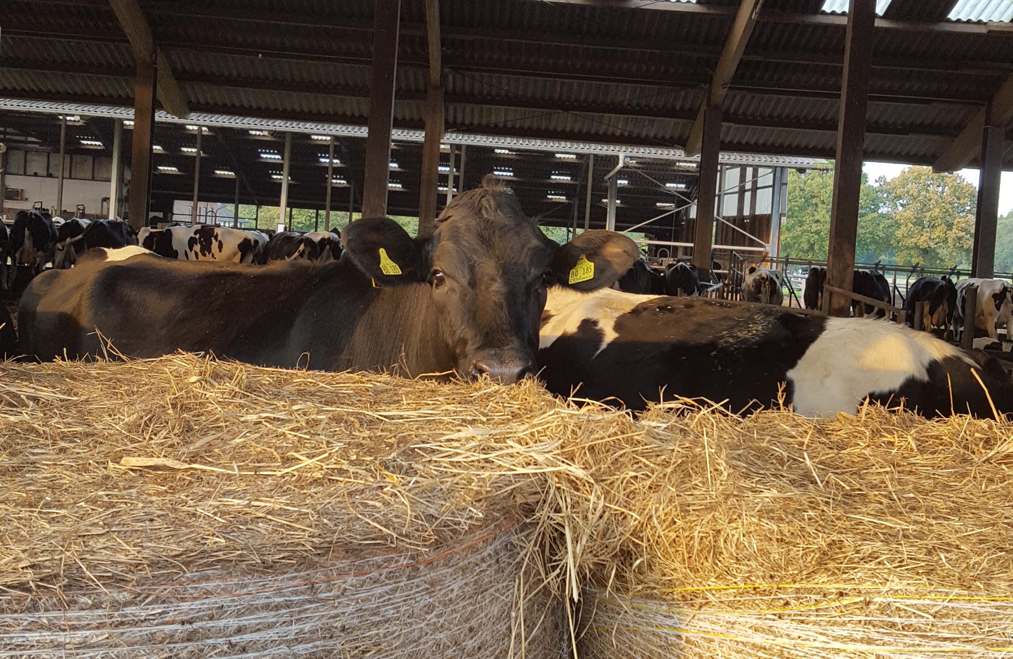 Und die Kühe natürlich auch.