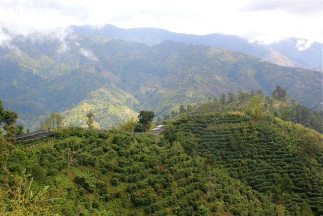 Kaffeepflanzen auf dem Estate
