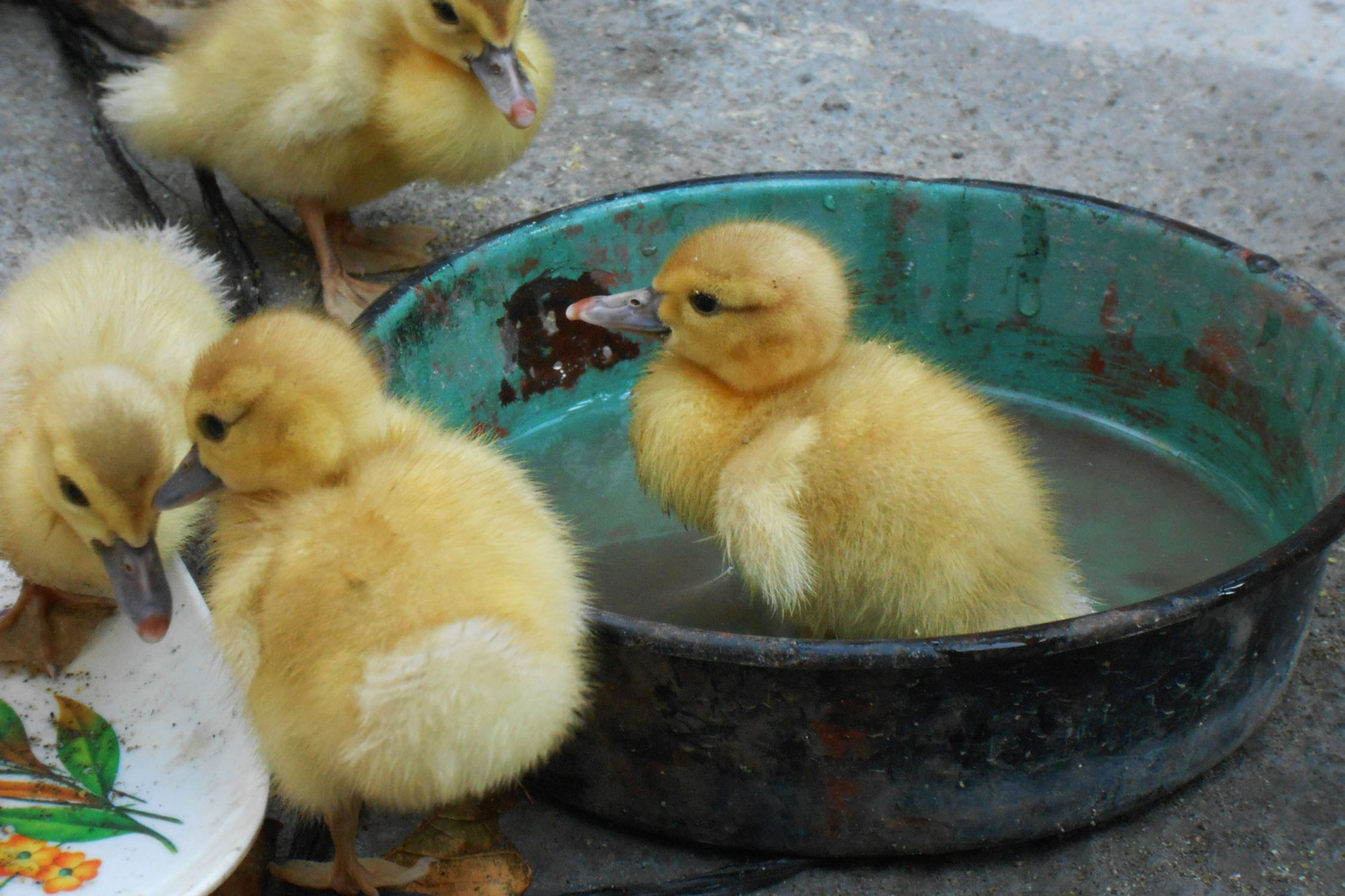 Baby Ente - alle Vegetarier nicht weiterlesen....die sind natürlich zum Essen / verkaufen