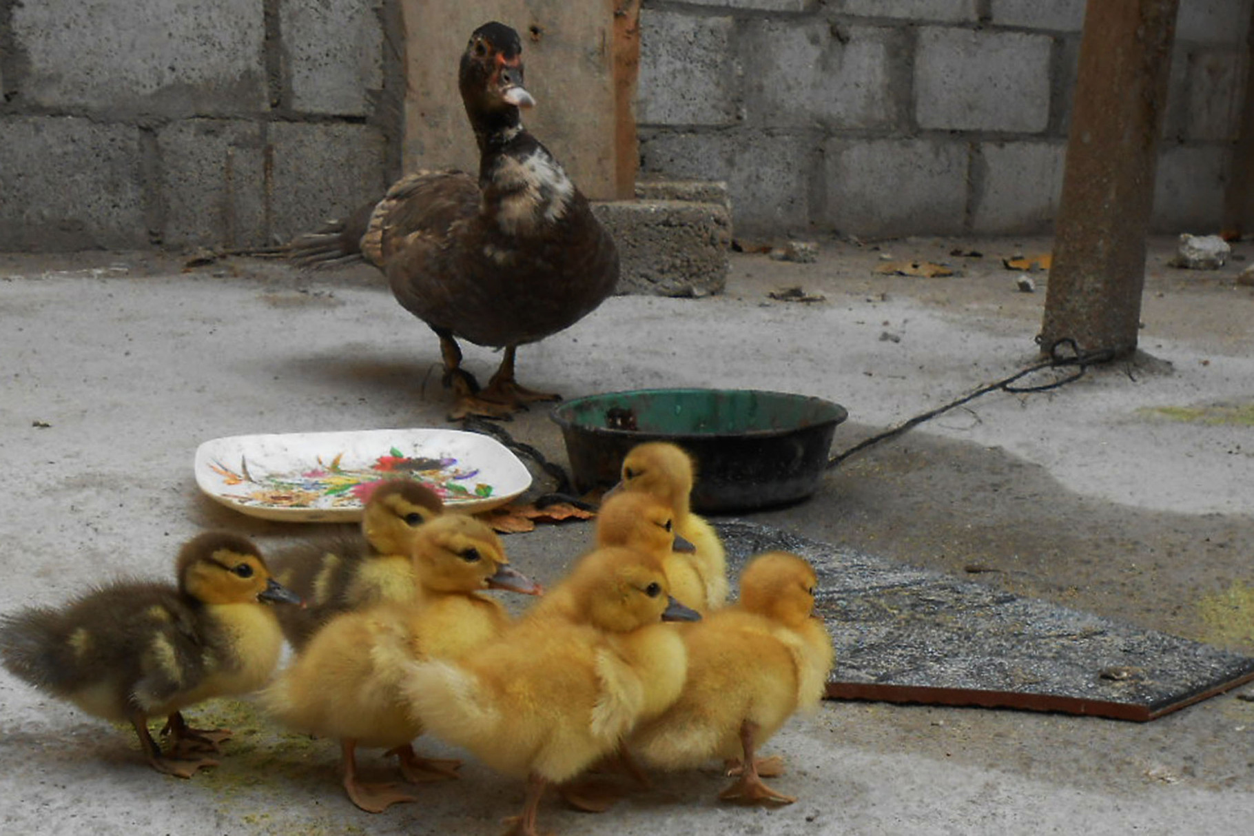 Aktuell wohnt Mama Ente mit Nachwuchs im Rohbau (zusätzliches Zimmer) von Luis