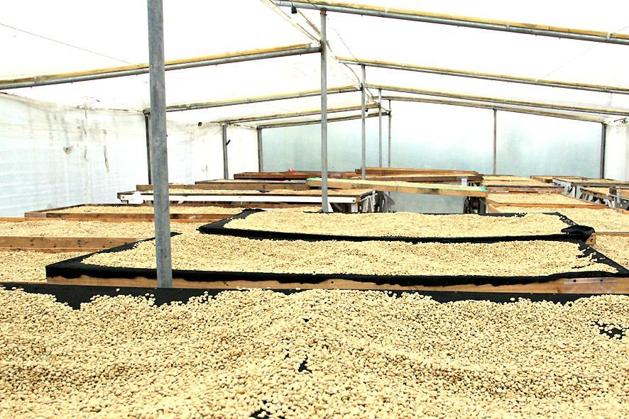 Trockenbetten für Pergamino unter einem Zelt mit geregelter Ventilation bei Henry Gaibor (Kaffeeproduzent)
