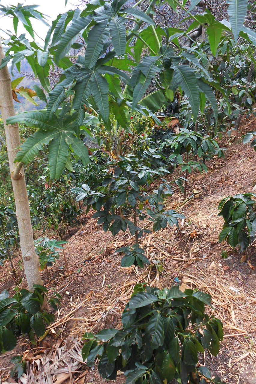 Kaffeepflanzen von Vicente