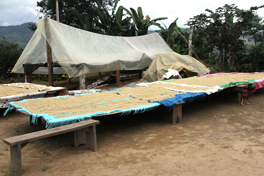 offene Trockenbetten, die Ernte von Justino Ramirez (AACRI) war besser als erwartet und passt nicht unters Zeltdach