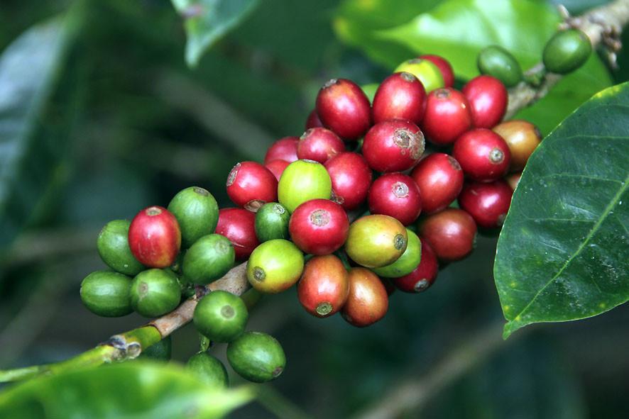Kaffeekirschen verschiedener Farben am Ast