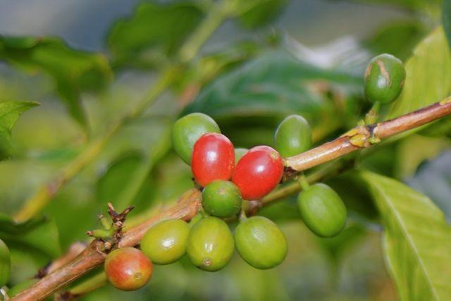 Kaffeekirschen vor der Reife