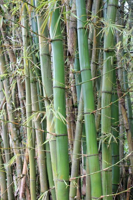 Bambus hinter dem Haus