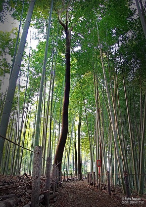 佳作 「見沼の竹林」 堀越 力男 1号地(見沼田圃周辺斜面林)