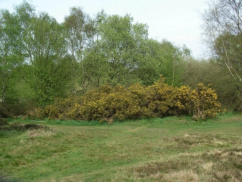 Gorse or furze thrives in heathland in Sutton Park.