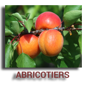 Abricotiers