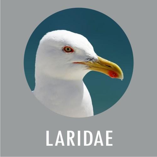 Laridae