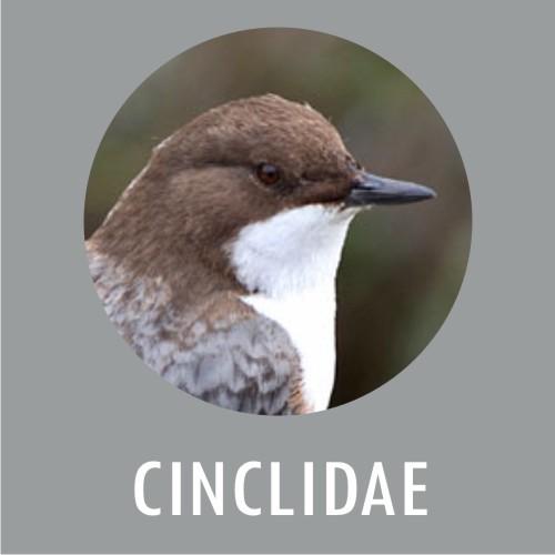 Cinclidae
