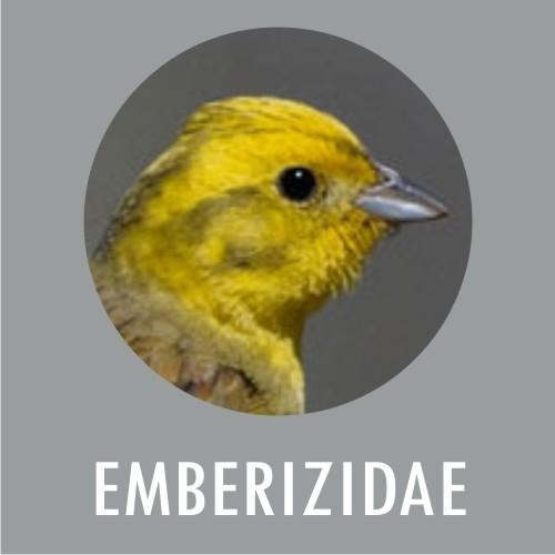 Emberizidae