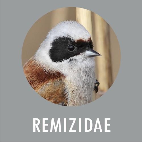 Remizidae