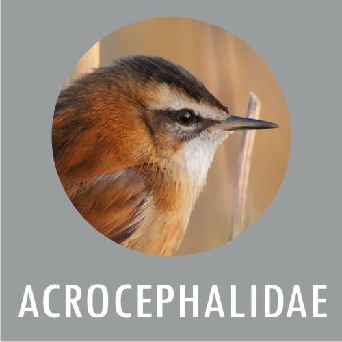 Acrocephalidae