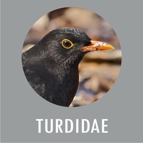 Turdidae