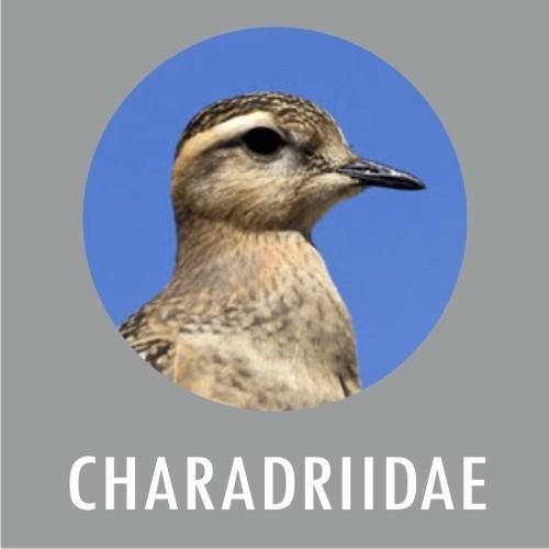 Charadridadae