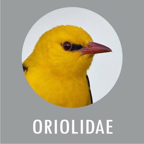 Oriolidae