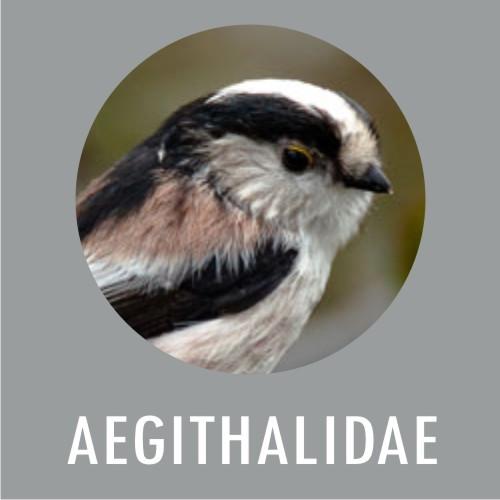 Aegithalidae
