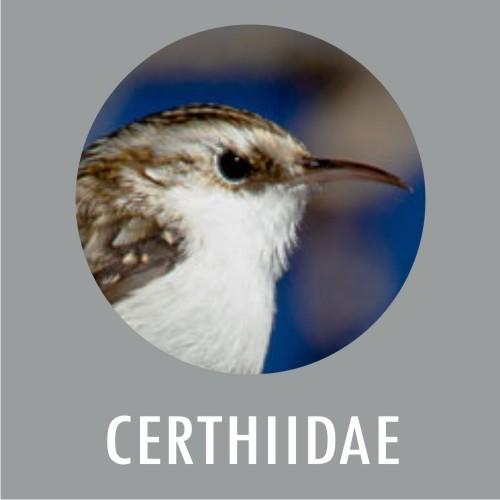 Certhidae