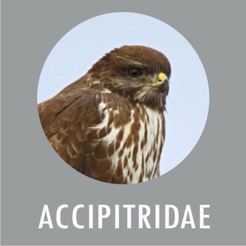 ACCIPITRIDAE