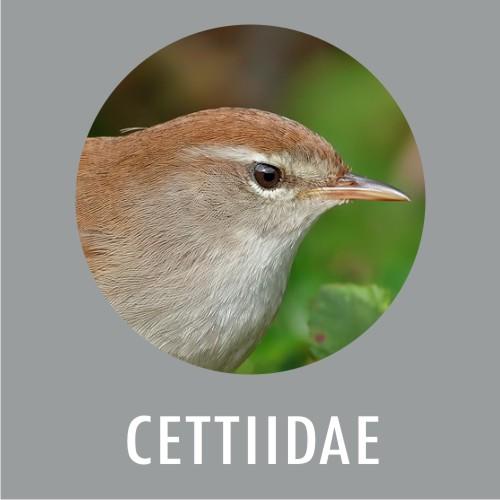 Cettidi