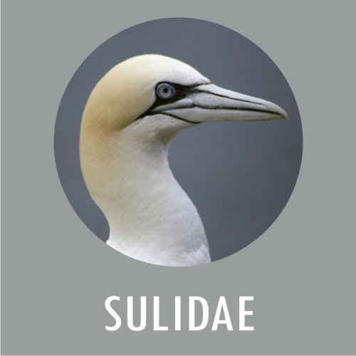 SULIDAE