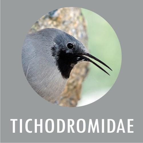 Tichodroma