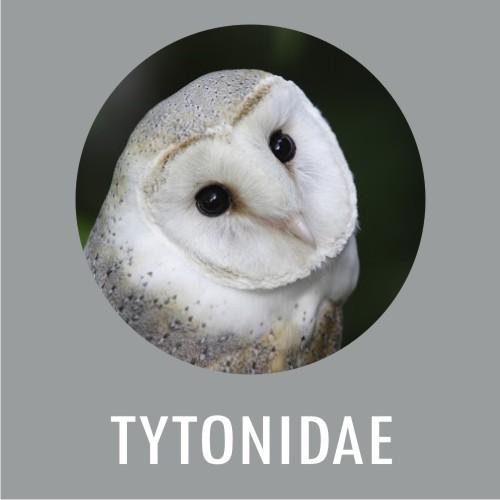 Tytonidae
