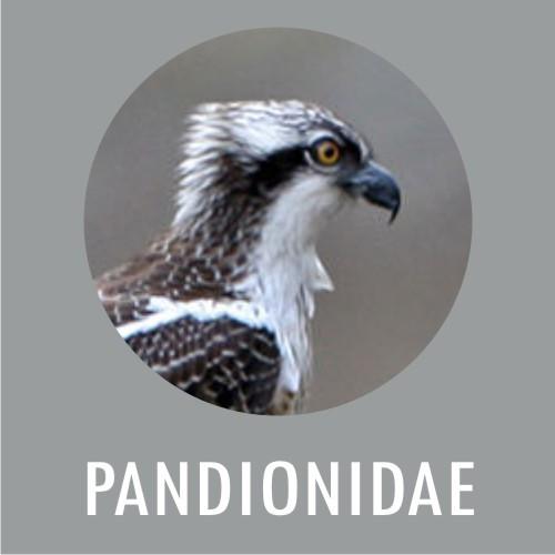 PANDIONIDAE