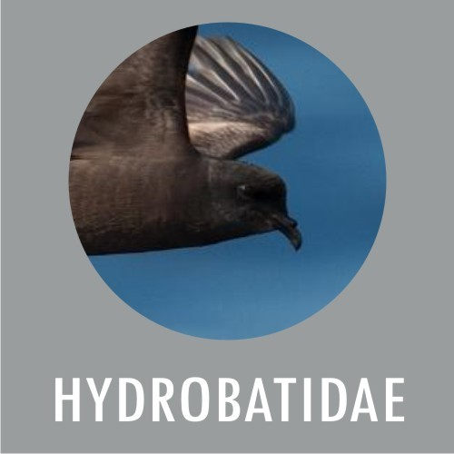 Hydrobatidae