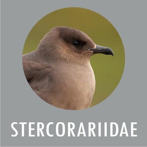 Stercoraridae