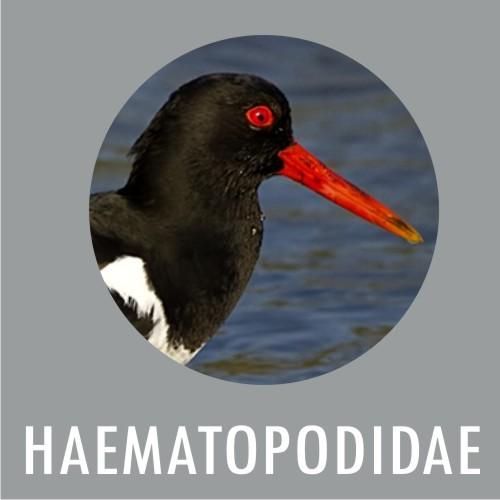 HEMATOPOIDIDAE