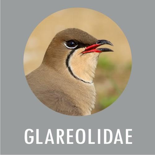 Glareolidae