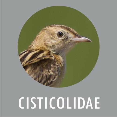 Cisticolidae