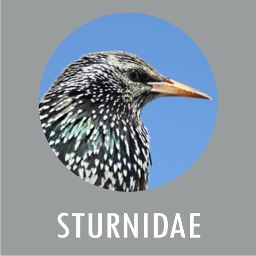 Sturnidae