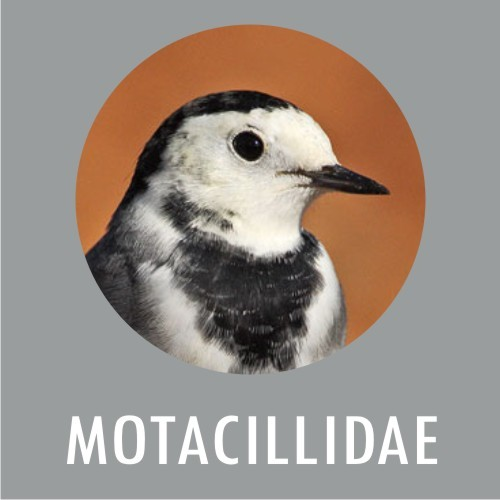 Motacillidae