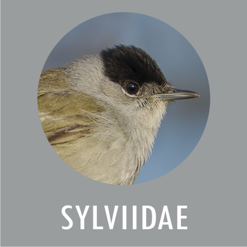 Sylviidae