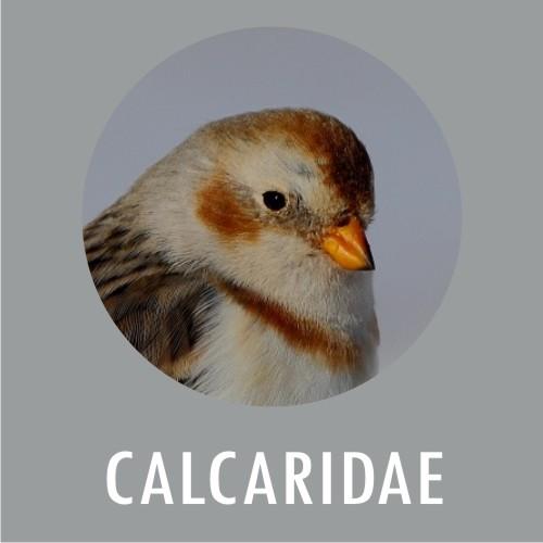 Calcaridae