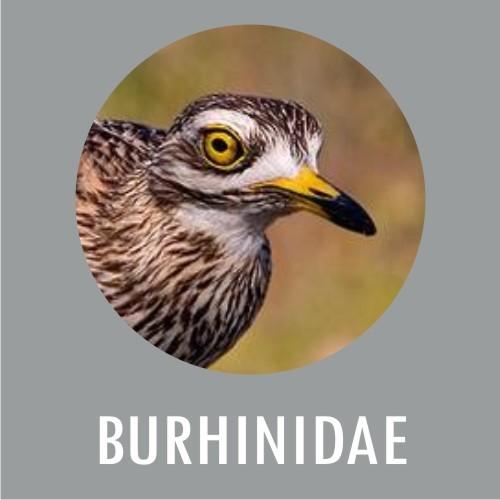 BURHINIDAE