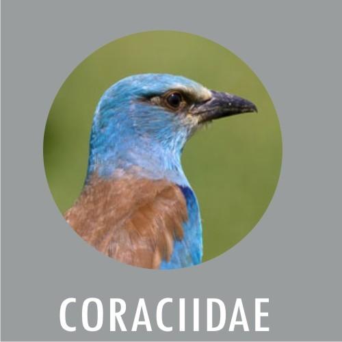 Coraciidae