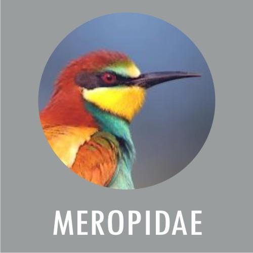 Meropidae