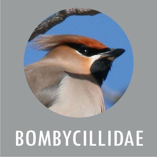 Bombycillidae