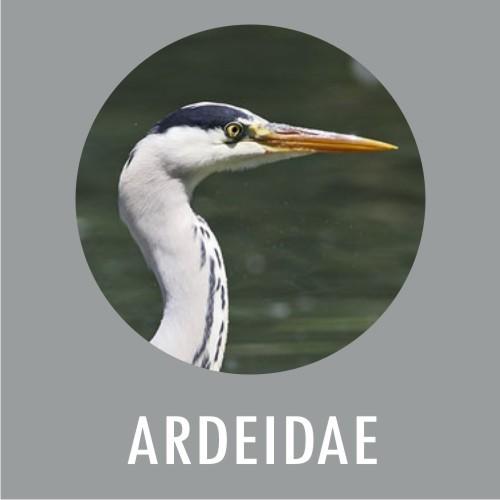ARDEIDAE