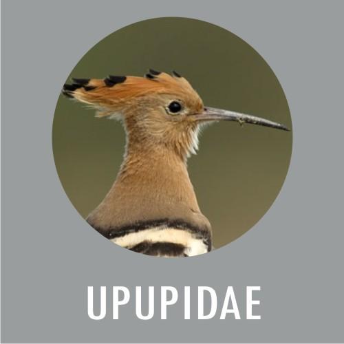 Upupidae