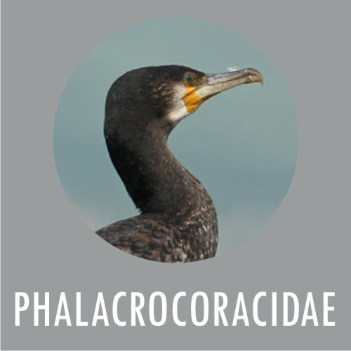 PHALACROCORACIDAE