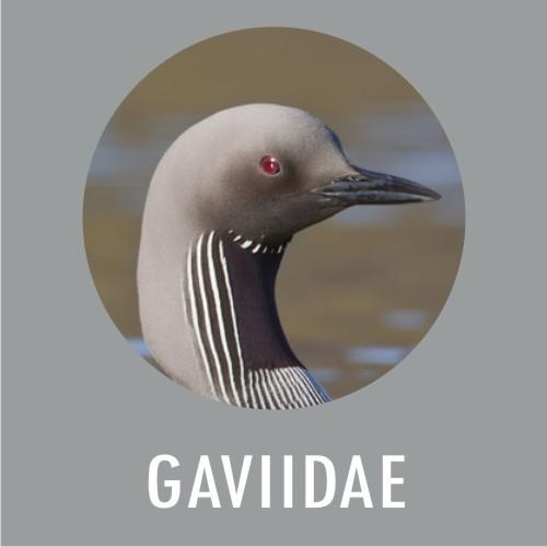 GAVIDAE