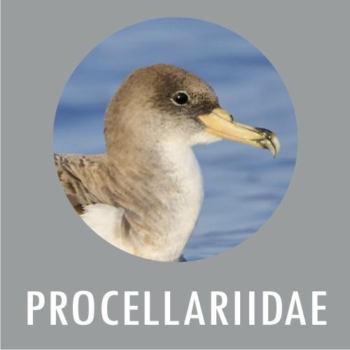 Procellariidae