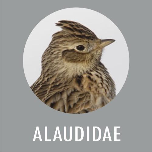 Alaudidae